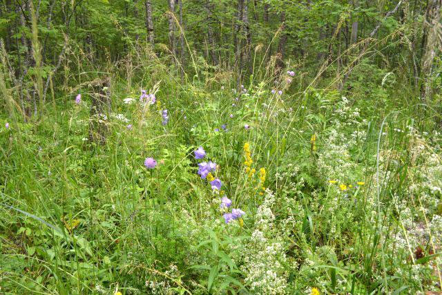 лесные_цветы_lesnye_tsvety