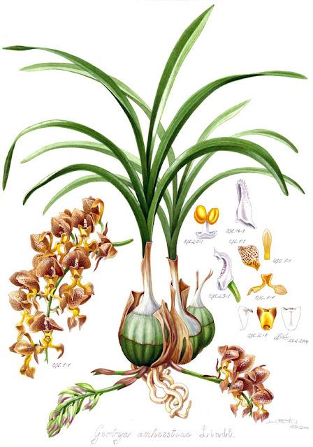 Растения из Тюмени. Краткий обзор - Страница 4 Grobya_amherstiae_plate