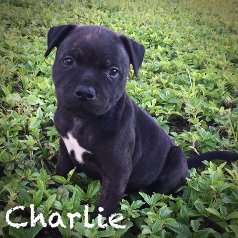 english staffordshire terrier for sale black jewel staffies akc english staffordshire bull 4846