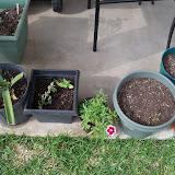 Gardening 2011 - 100_7529.JPG