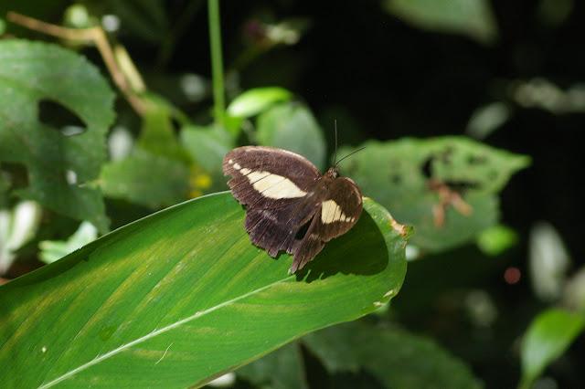 Dasyophthalma creusa HÜBNER, (1821), mâle. Caçandoca (Ubatuba, SP), 21 février 2011. Photo : J.-M. Gayman