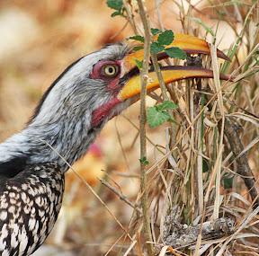 Yellow Hornbill, South Africa