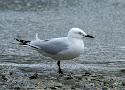 black-billed gull.jpg