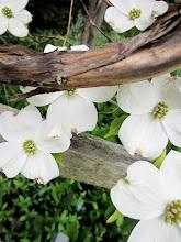 Photo: White dogwood blossoms among wood at Wegerzyn Gardens in Dayton, Ohio.