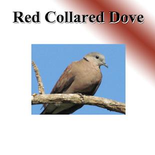 Dove light birds sound. - náhled