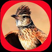 Suara Burung Branjangan Juara