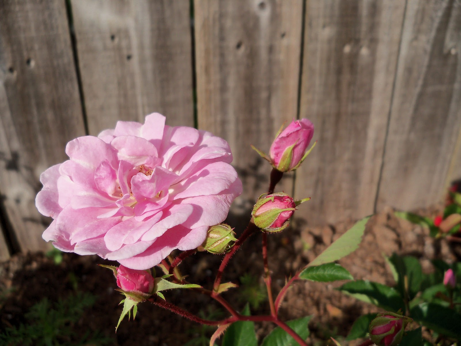 Gardening 2010 - 101_0993.JPG