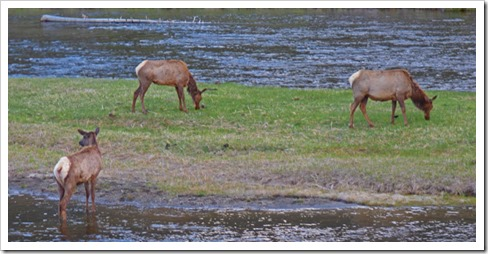 Elk, between West Entrance and Madison Junction, Yellowstone May 2016