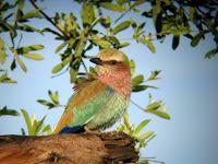 Lilac Breasted Roller - Okavango Delta