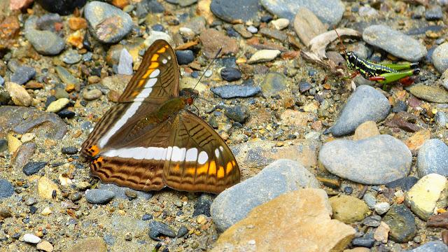 Adelpha alala negra (Felder & Felder, 1862). Chovacollo, près de Coroico, 1800 m (Yungas, Bolivie), 29 décembre 2014. Photo : Jan Flindt Christensen