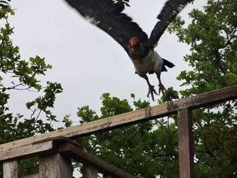2018.08.25-034 vautour