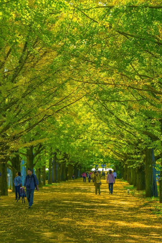 昭和記念公園 かたらいのイチョウ並木 写真2