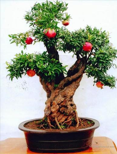 bonsai lựu