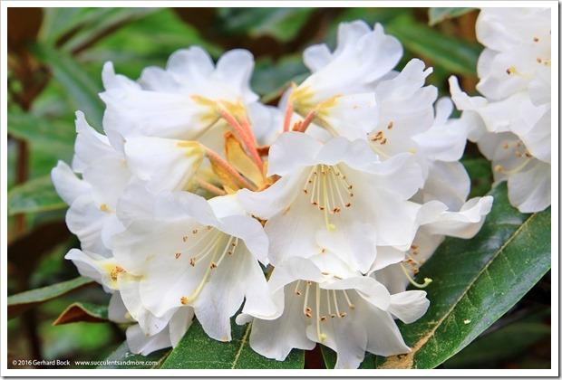 160410_Victoria_UVic_FinnertyGardens_0034_Rhododendron-bureavii