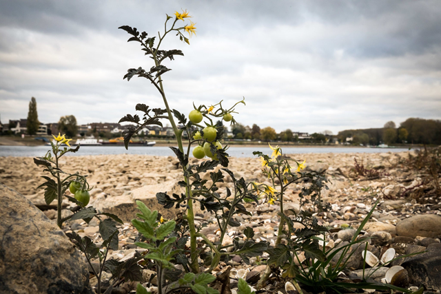 Wild tomatoes are growing in the Rhine riverbed in Bonn. In October 2018, one of the longest dry spells on record has left part of the Rhine in Germany at record-low levels for months, forcing freighters to reduce their cargo or stop plying the river altogether. Photo: Gordon Welters / The New York Times
