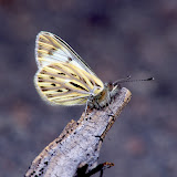 Pierinae : Phulia nymphula ssp. Vallée de Kosñipata (3300 m), nov. 2009. Photo : B. H. Purser