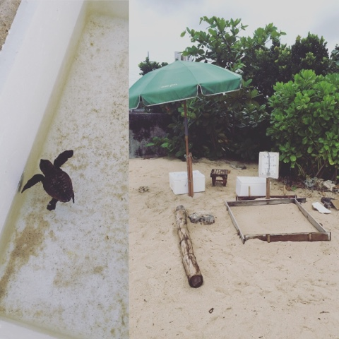 Sea Turtle hatching in Okinawa