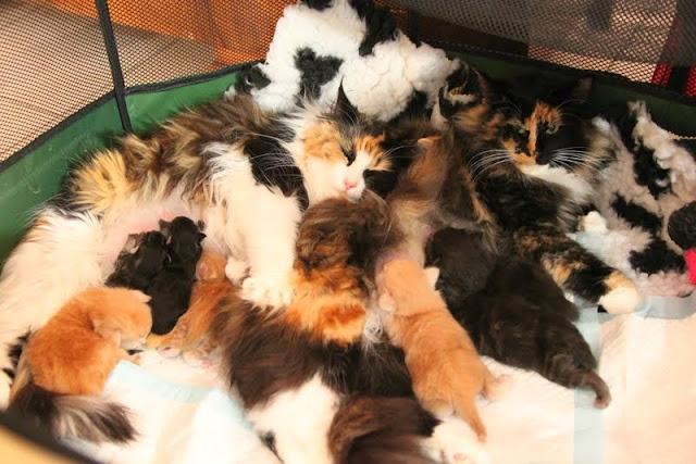 Chats norvegien a donner - Combien de portee par an pour un chat ...