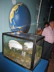 Carabelas portuguesas capturadas en agosto de 2010 en las costas asturianas