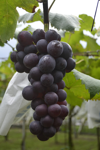 綠農的家-紫金葡萄優惠來囉