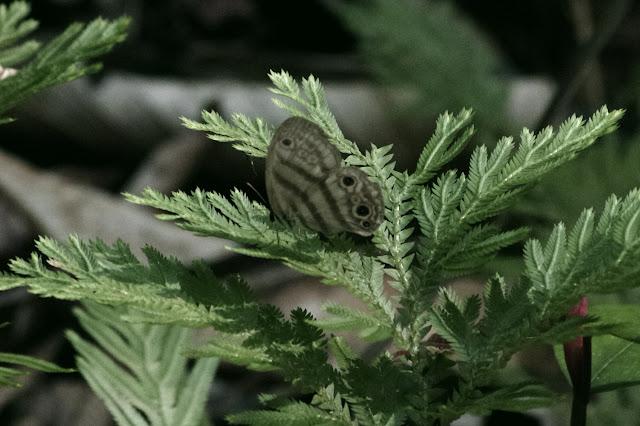 Euptychia neildi BRÉVIGNON, 2005. Auberge des Orpailleurs (RN2, PK 63), 3 novembre 2012. Photo : J.-M. Gayman