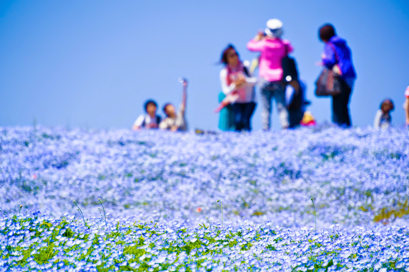 Hitachi Seaside Park Nemophila (baby blue eyes flowers) photo4