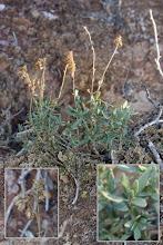 Photo: Flora algepsar: Helianthemum squamatum.