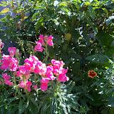 Gardening 2011 - 100_9052.JPG