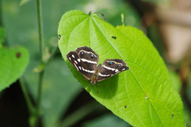 Dynamine postverta (CRAMER, 1779), femelle. Tunda Loma (Calderon, Esmeraldas), 8 décembre 2013. Photo : J.-M. Gayman