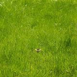 Papilio machaon LINNAEUS, 1758, en vol. Hautes-Lisières (Rouvres, 28), 21 avril 2011. Photo : J.-M. Gayman