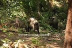 2009/9/19 こどもの森ビッグママファミリーの三頭 2/3 こうして間近に3頭がいて写真に入るのは難しそうだった。ニャンニャンが1,2mまで来ると、母親が鼻で追い払うような動きをしていた。すぐにニャンニャンは10m程下がってしまう。