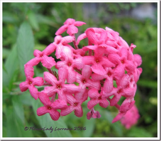 12-09-panama-rose