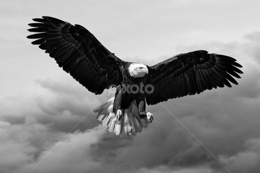 American Bald Eagle by John Phielix - Black & White Animals (  )