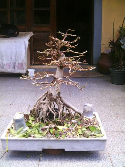 Ficus Microcarpa var. Indica... - Página 2 IMAG0296