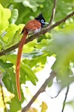 Photo: African Paradise-Flycatcher