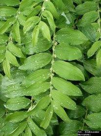 Kokoryczka wielokwiatowa liście Polygantum multiflorum leaves