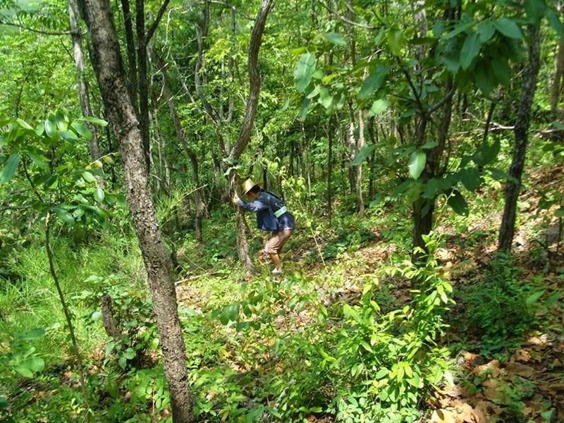 ขึ้นเขาพนมรุ้งหาของป่า