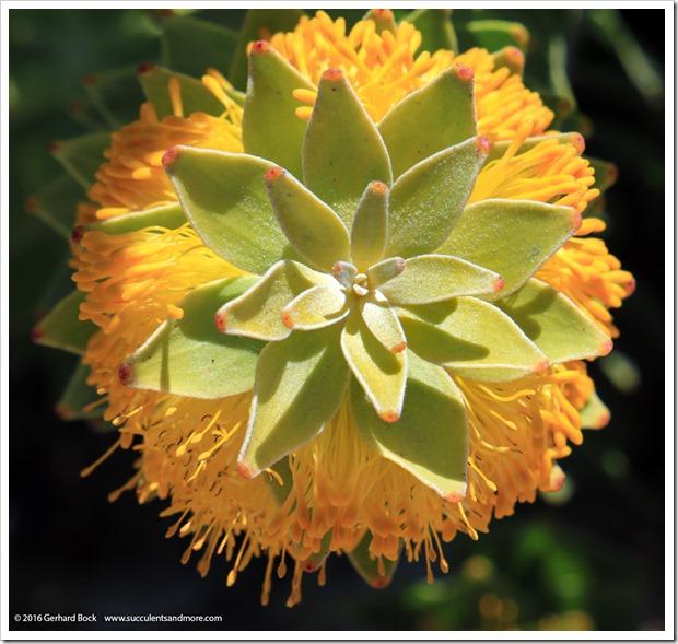 160813_UCSC_Arboretum_Mimetes-chrysanthus_005