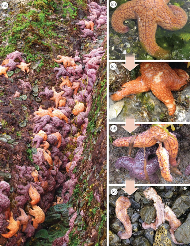 Representative photographs of Pisaster ochraceus sea stars pre-summer 2014 abundance and wasting disease progression. P. ochraceus were abundant in the intertidal survey areas in May, 2014 (a). Healthy sea stars (b) develop lesions (c) that can lead to arms detaching from central disk (d) prior to extensive tissue necrosis and death (e). Photo: Eisenlord, et al., 2016 / Philosophical Transactions of the Royal Society B
