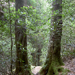 Track between trees in Porters Pass (13195)