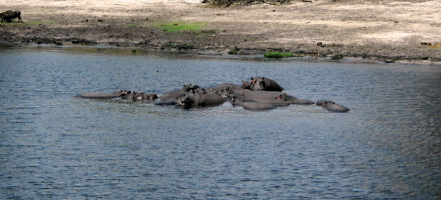 A pod of hippos on the Chobe River