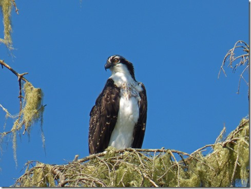Osprey, Indian Creak RV Park, Gold Beach, OR