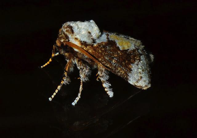 Limacodidae : Mecytha fasciata WALKER, 1855. Umina Beach (N. S. W., Australie), 22 janvier 2012. Photo : Barbara Kedzierski