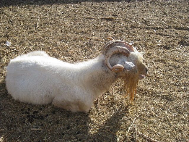 Now, that's a goat