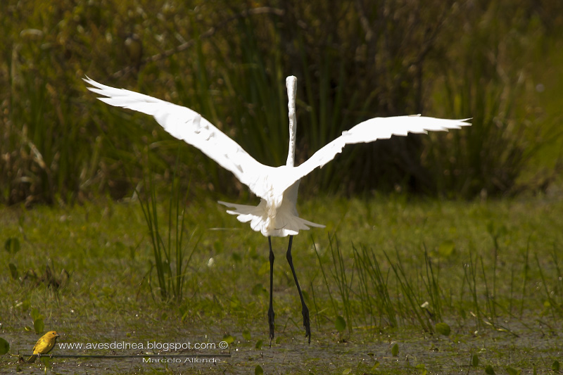 Garza blanca (Great egret)