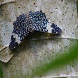 Hamadryas amphinome fumosa (Fruhstorfer, 1915). Fundo Palmarito, 265 m (Yopal, Casanare, Colombie), 7 novembre 2015. Photo : J.-M. Gayman