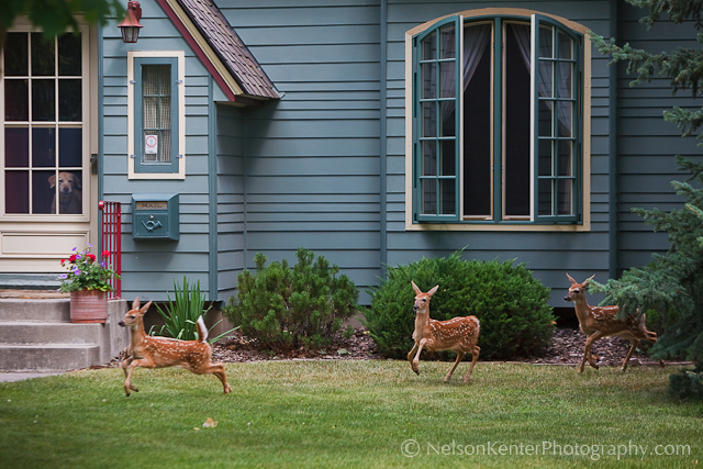 Whitetail Triplets in Missoula. Photo by Nelson Kenter. All Rights Reserved. Prints available at www.kenterphotography.com