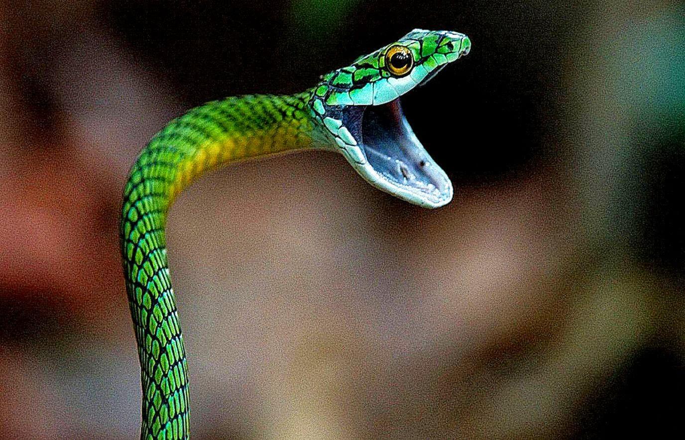 Black Mamba Snake Wall...