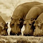 Africa Sepia Hippos.jpg