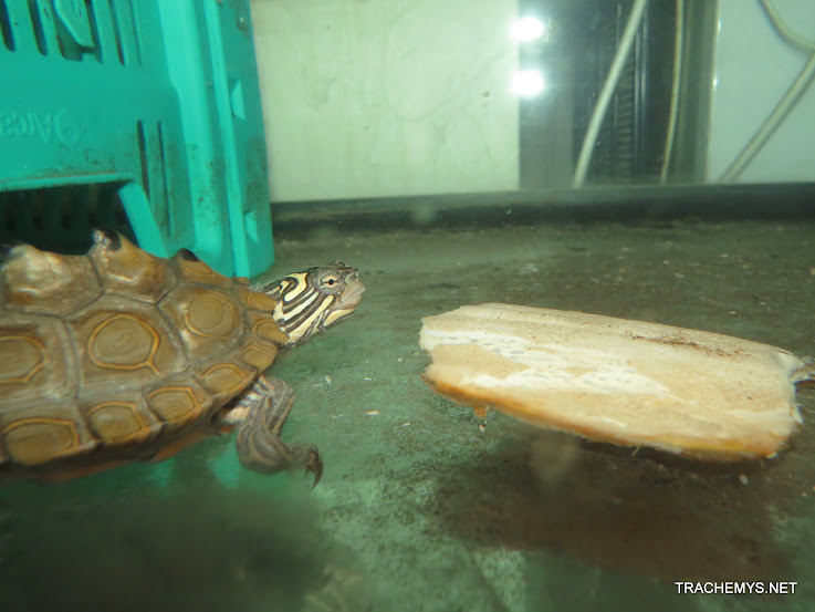 mes tortues (BK) - Page 11 IMG_2235